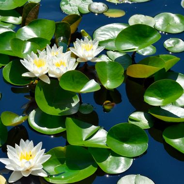 Photographed white water lilies at pond
