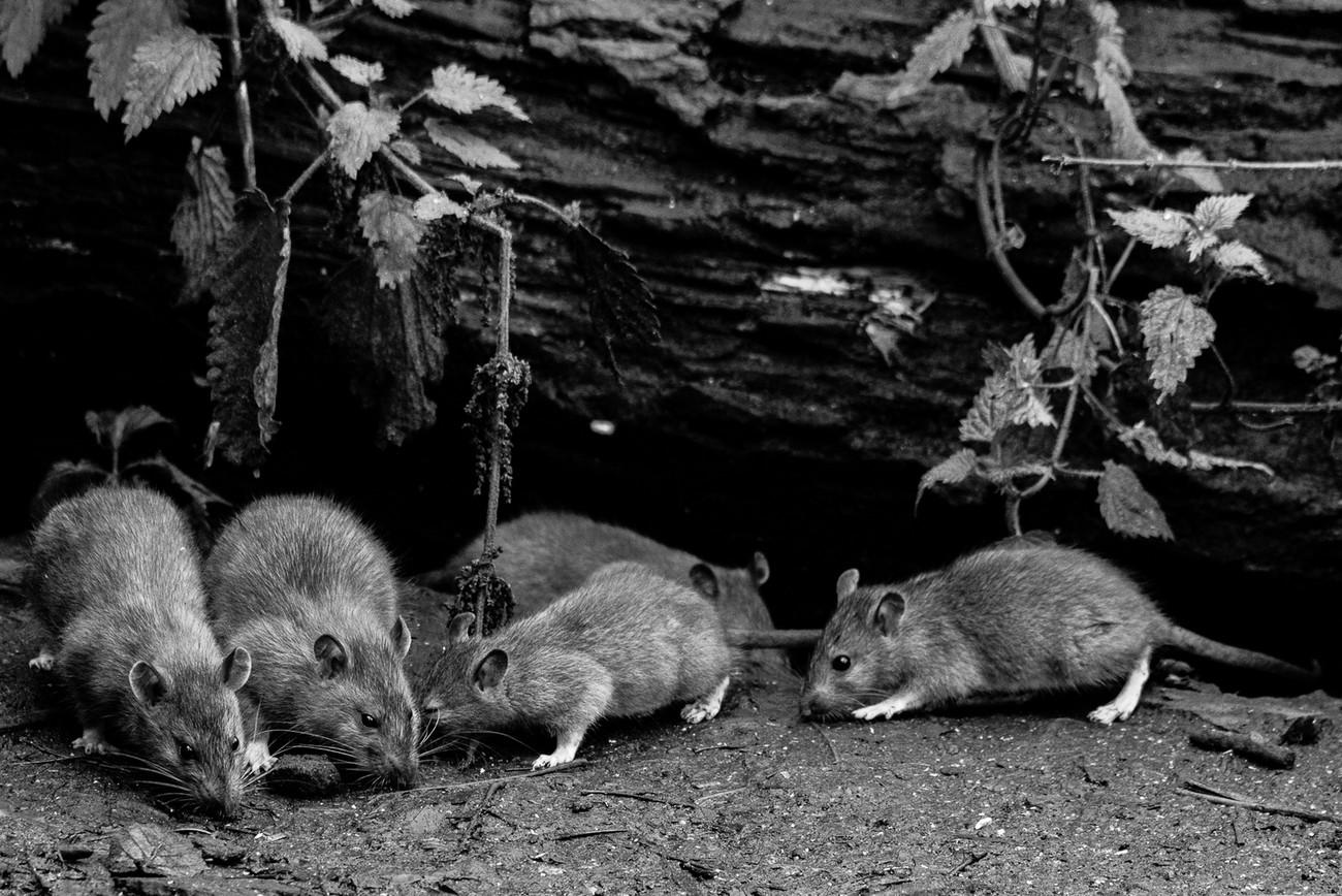 Rats B & W