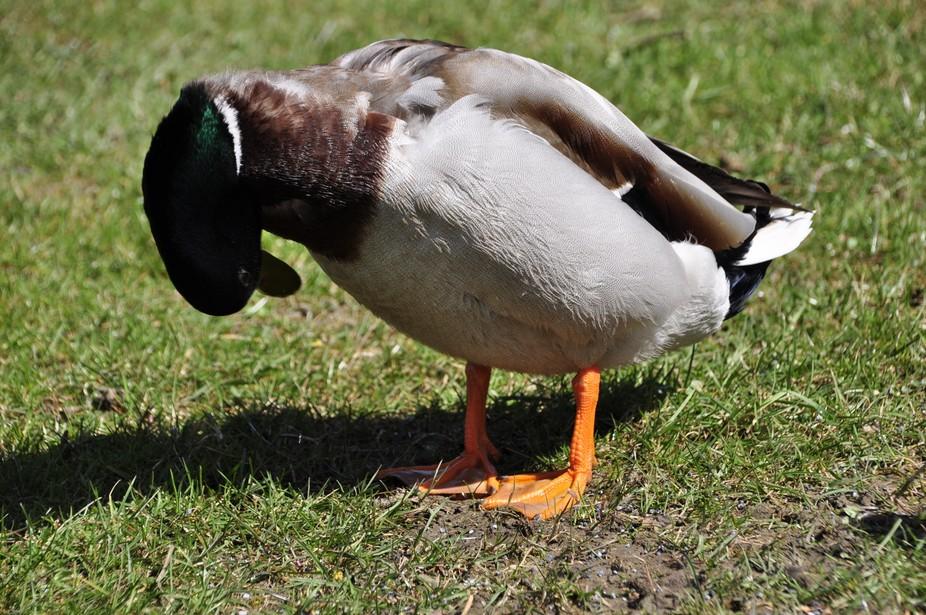 Ich saß auf der Bank und die Ente betrachtete gerade ihren Bauch.Ich musste aufpassen nicht zu verreißen beim Fotografieren weil es so lustig war????