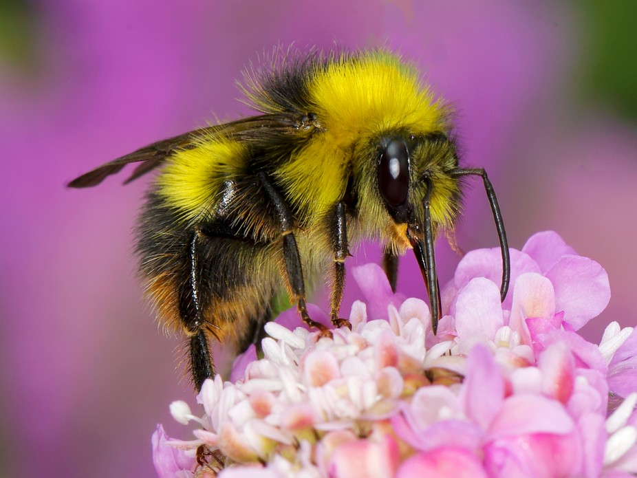 Early Bumble Bee (Bombus pratorum)3