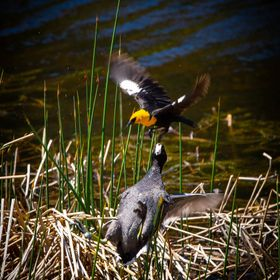 Coot and Yellowheaded Blackbird fight