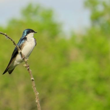 Tree Swallow, McKee-Beschers, Montgomery County, MD, IMG_3475_1