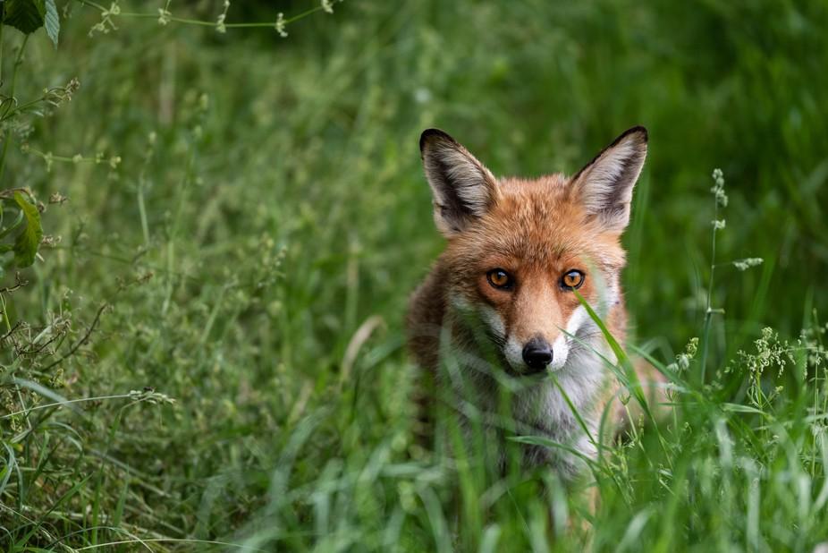 Intense Fox stare. British Wildlife  Instagram @awsmith22 Facebook @alanwsmithphotography Website...