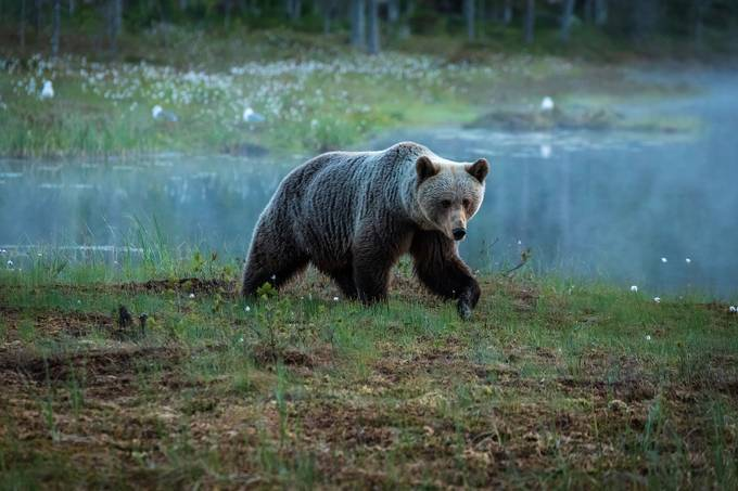 Young brown bear by wojciech_toman - The Natural Planet Photo Contest
