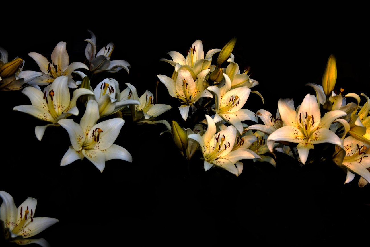 many lillies