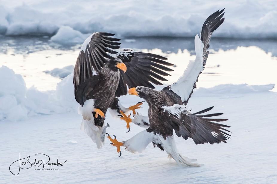 Stellar Sea Eagles fighting for food.  Shot in Hokkaido, Japan