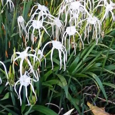 Spider lillies