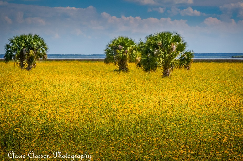 A roadside field filled with yellow flowers near Orlando Florida. This is supposedly a yearly event!