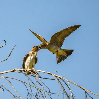 Barn Swallows feeding-0792