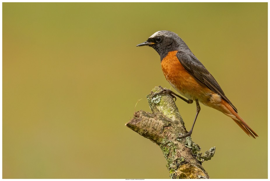 The Beautiful Male Redstart In Portrait.