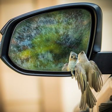A bird is totally focused on it's reflection in the side mirror of a car, near Lake Travis, Texas