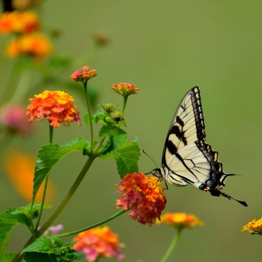 Swallowtail butterfly at flower garden background