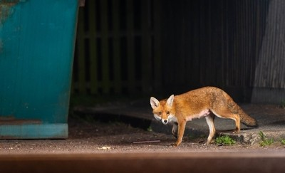 Fox mother on the prowl for scraps in the town centre