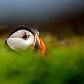 A Puffin emerging from it`s nest in a disused rabbit burrow on the Isle of May in the Firth of Forth , Scotland.