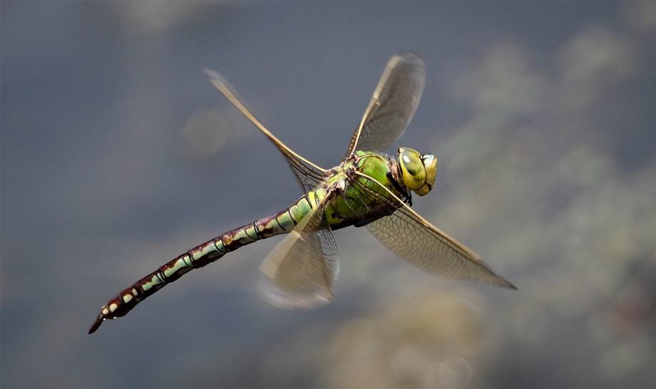 Emperor Dragonfly captured in flight at Wisley Gardens