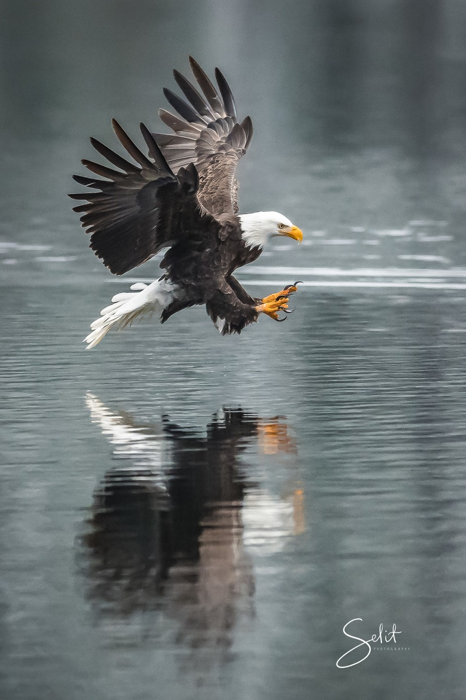 by Selit - Majestic Eagles Photo Contest