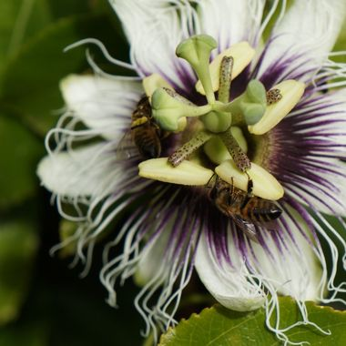 bees on a passion fruit flower