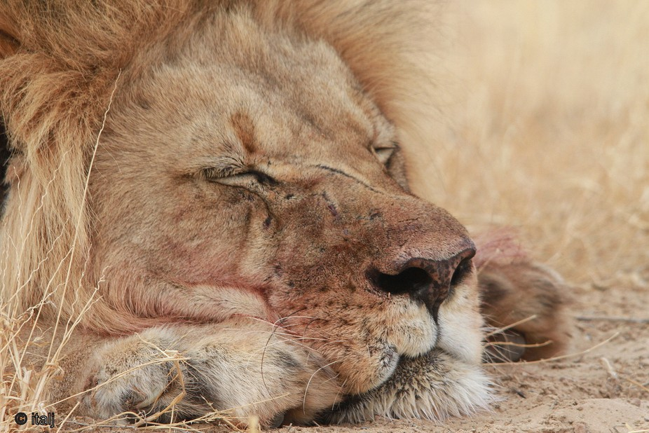 Kgalagadi NP lion asleep early morning after night of feasting