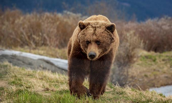 Grizzly by jonwestaway - Bears Photo Contest