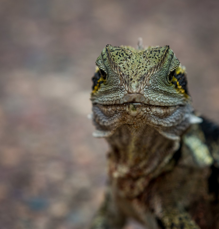 Water Dragon  by jonwestaway - Reptiles Photo Contest