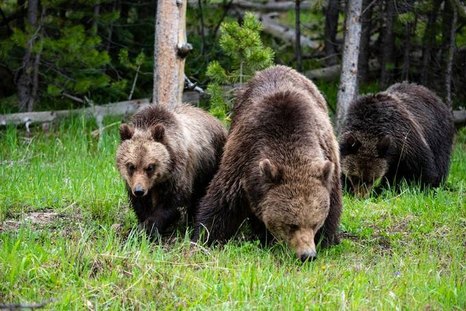Hungry by accuracyovervolume - Bears Photo Contest