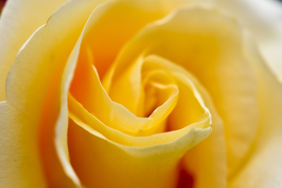 _DMP7144/Yellow Rose Petals