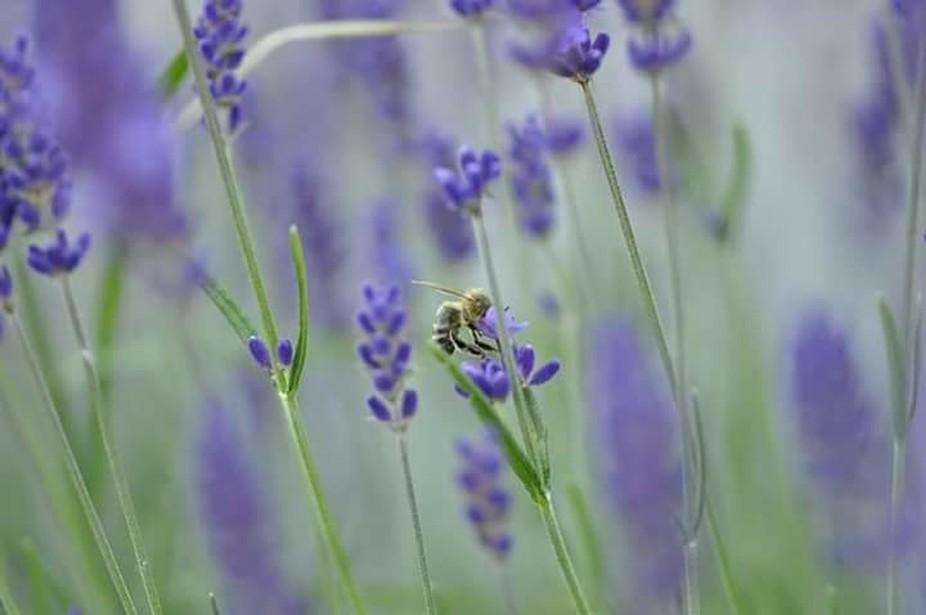 Honigproduktion,geschmacksrichtung Lavendel