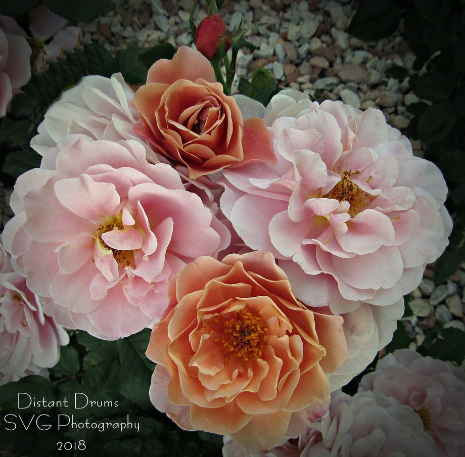 Distant Drums - Spring Rose Bed Bouquet  I