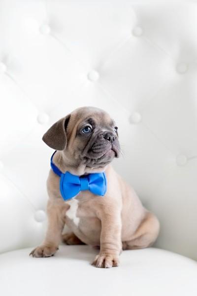 Dapper Pup