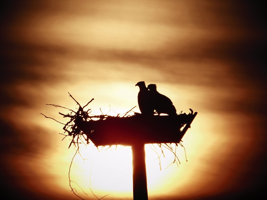 This is a silhouette picture I took of two Osprey in their nest at sunset.