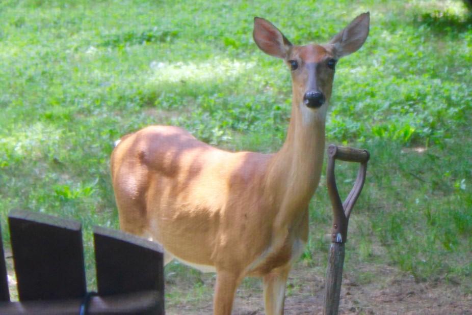 IMG_0869  Hello Deer