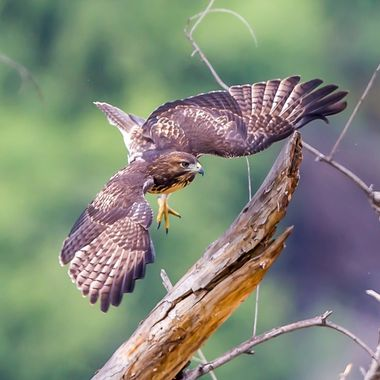 juvenile Red-Tailed Hawk-2111
