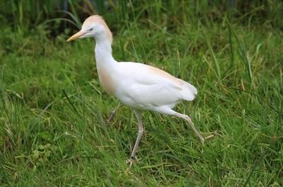 cattle egret (Bubulcus ibis