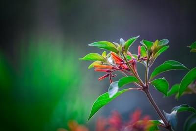 Red Ruby Pentas Flowers