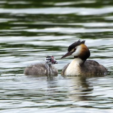 Great crested grebe with young bird (Podiceps cristatus)