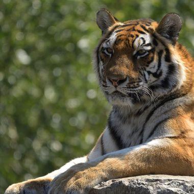 Amur tigers (Panthera tigris altaica)