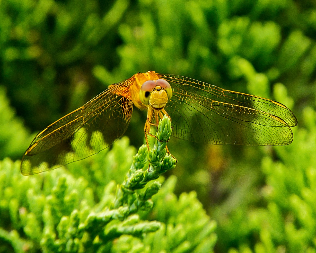 Female Scarlet Skimmer dragonfly photographed in my front yard in Sarasota, Florida