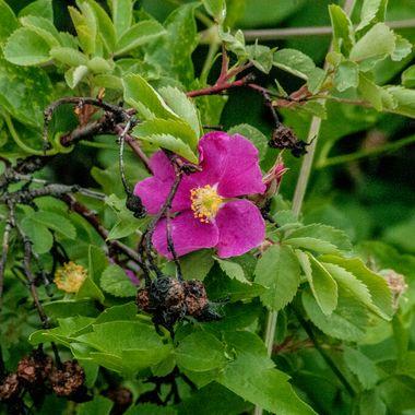 JRE_0326  Wild Rose