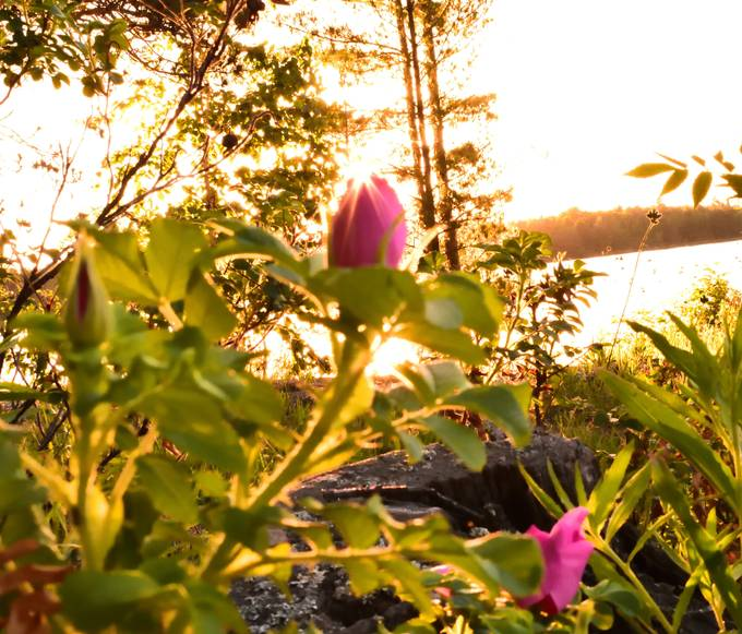 A wild rose opening by the lake shore at sunrise Nikon D3400 18-55 lens