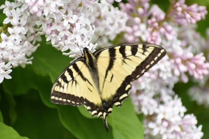 Took this in the backyard on a lilac bush Nikon D3400 18-55 lens