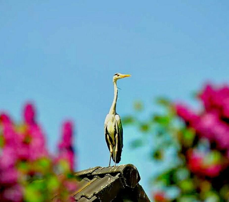 Ich stand im Garten und wunderte mich mal wieder warum die Menschen Plastikvögel auf's Dach montieren damit dort kein ungebetener Gast landet.Bis ich näher ran ging.Plötzlich bewegte sich der Reiher und ich war sehr erstaunt als in diesem Moment eine Eule aus dem Gebüsch flog,die ich leider nicht erwischte