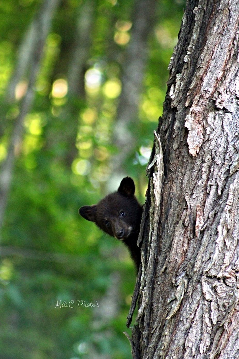 Cutie by MCPhotos - Bears Photo Contest