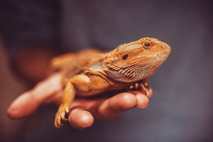bearded dragon by coughdrop - Reptiles Photo Contest