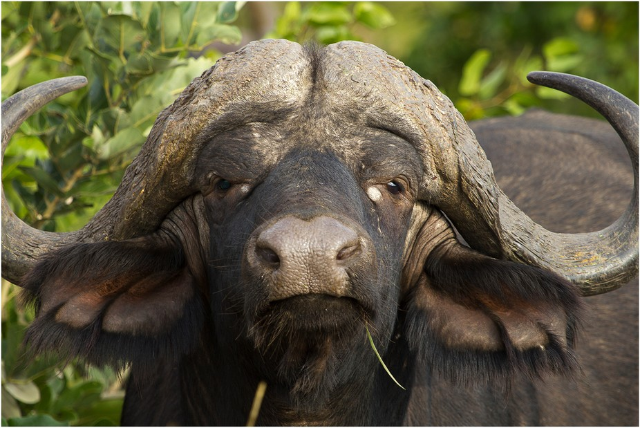 Beautiful buffalo from the National Kruger Park in South Africa.