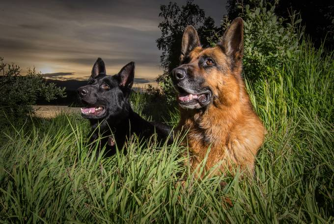 German Shepherds by Tande - Subjects On The Ground Photo Contest