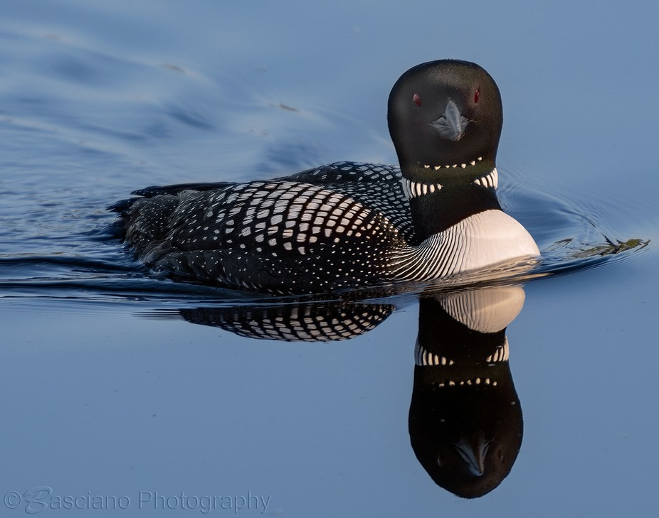 Common Loon Reflecting Peterborough County, Ontario, Canada June 17, 2018