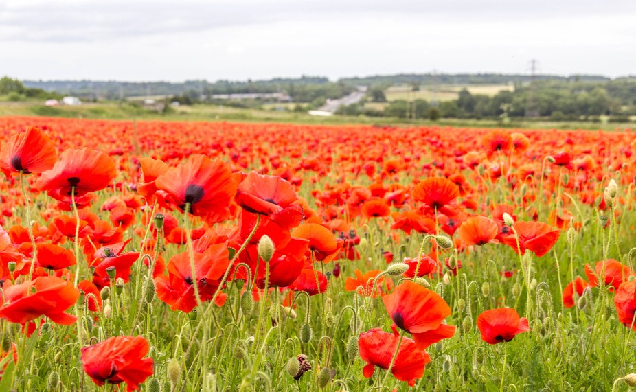 This wonderful show of poppies has appeared after pigs had rooted up all of the ground last year!...