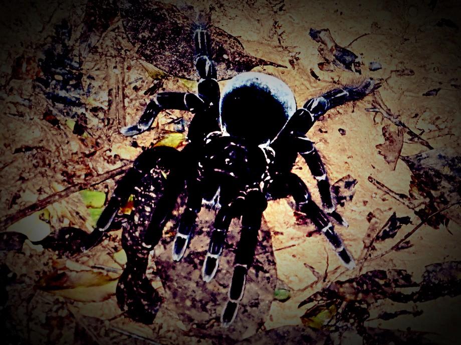 Araña pollito en Baawaja, Amazonia, Perú