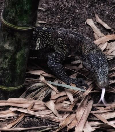 Asian lizard