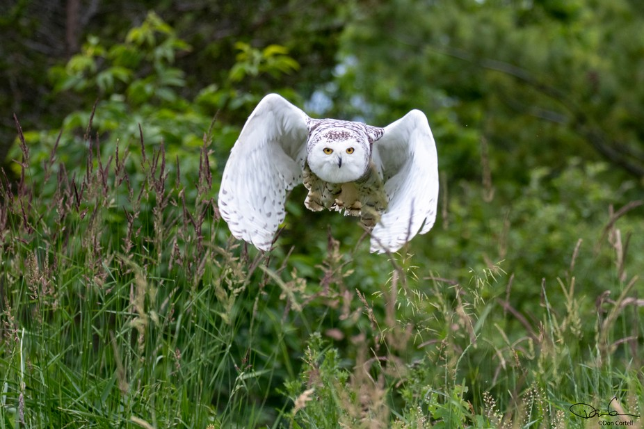 A Snowy Owl in Flight
